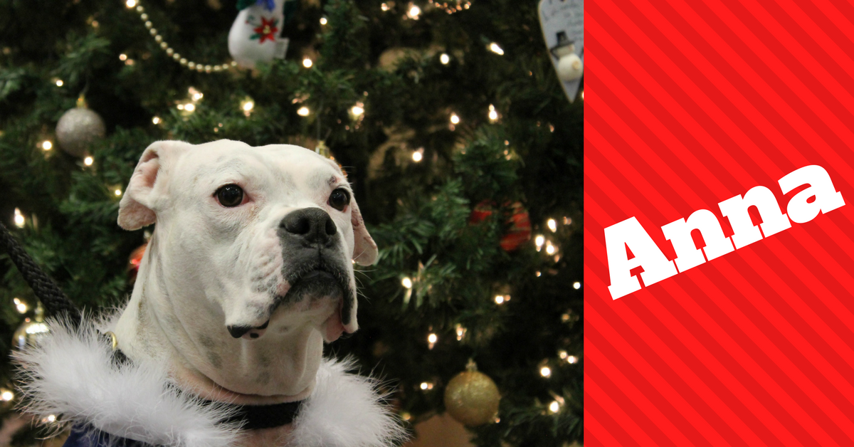 Anna the white boxer in front of christmas tree